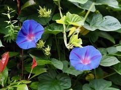 チョウセンアサガオ (arty822) Tags: flower アサガオ チョウセンアサガオ 青