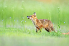 Happy Weekend... (DTT67) Tags: kit foxkit redfox fox maryland 500mm 1dxmkii canon wildlife nature
