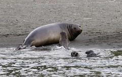 Antarctic Fur Seal mother on beach watching pups swim in the sea (Paul Cottis) Tags: southgeorgia pinniped seal marine mammal beach southatlantic paulcottis 28 january 2019 jan goldharbour swim swimming