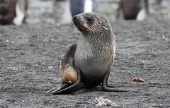 Young Antarctic Fur Seal looking up (Paul Cottis) Tags: southgeorgia pinniped seal marine mammal beach southatlantic paulcottis 28 january 2019 jan cooperbay