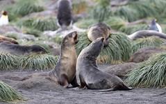 Antarctic Fur Seals having a fight (Paul Cottis) Tags: mammal marine seal southgeorgia pinniped beach jan january 28 2019 southatlantic cooperbay paulcottis