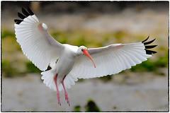 Ibis (RKop) Tags: raphaelkopanphotography florida d500 600mmf4evr nikon