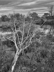 Fallen (mswan777) Tags: tree wood water river marsh wet grass sky cloud outdoor nature scenic quiet new buffalo michigan apple iphone iphoneography mobile monochrome ansel black white