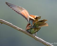 Le final... (Régis B 31) Tags: coraciiformes europeanbeeeater guêpierdeurope meropsapiaster méropidés ariège bird oiseau accouplement