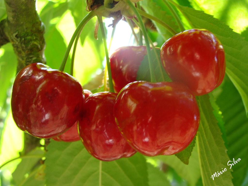 Águas Frias (Chaves) - ... cerejas madurinhas ...