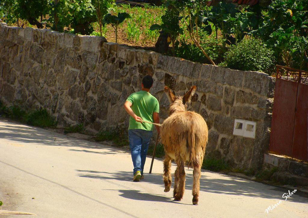 Águas Frias (Chaves) - ... trazendo o burrito depois de o levar para o campo ...
