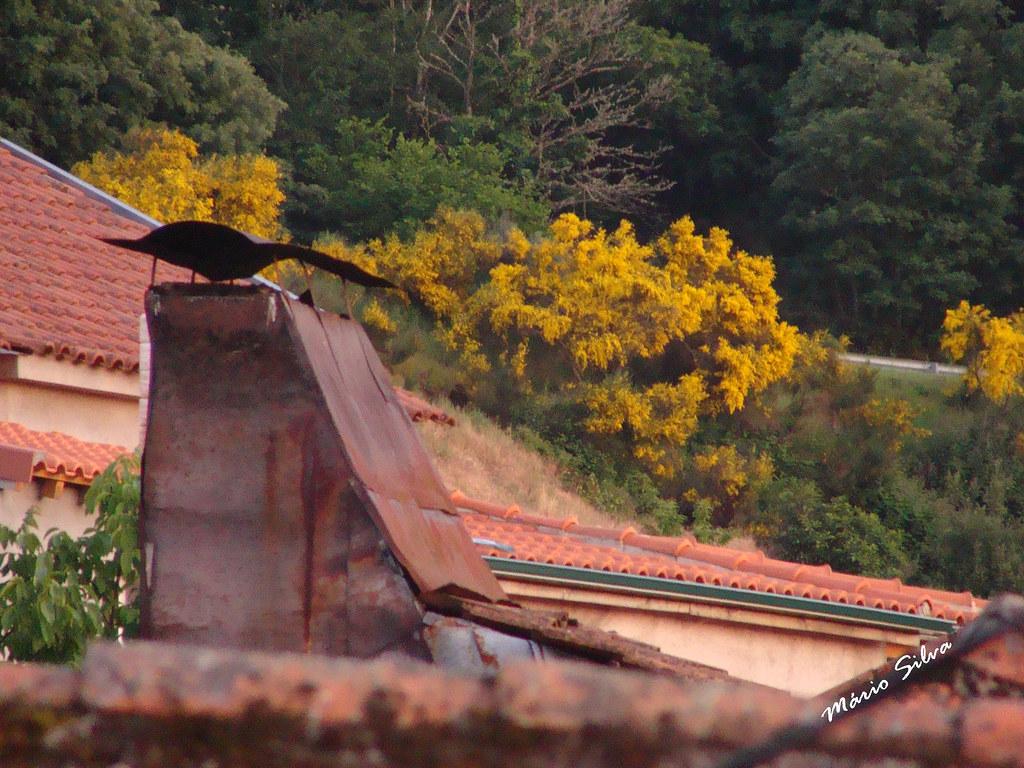 Águas Frias (Chaves) - ... uma chaminé de folhas de zinco e as mimosas floridas ...