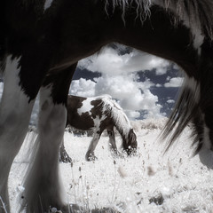 Infrared Horses Grazing (GeorgeKBarker) Tags: horse horses equestrian equine infrared grass grazing 720 shire pony mare mane hair glow light