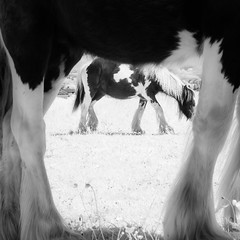 Infrared Horses Monochrome (GeorgeKBarker) Tags: horse horses equestrian equine infrared grass grazing 720 shire pony mare mane hair glow light mono monochrome black white legs