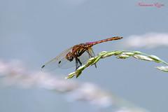 Sympetrum strié mâle   (2) (Ezzo33) Tags: france gironde nouvelleaquitaine bordeaux ezzo33 nammour ezzat sony rx10m3 parc jardin insecte insectes specanimal libellule dragonfly sympetrumstriémâle