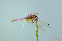 Sympetrum strié mâle   (1) (Ezzo33) Tags: france gironde nouvelleaquitaine bordeaux ezzo33 nammour ezzat sony rx10m3 parc jardin insecte insectes specanimal libellule dragonfly sympetrumstriémâle