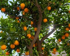 Valencia   |   Orange Tree (JB_1984) Tags: lalonjadelaseda oranges fruit orangetree sunburst colour tree valencia valenciancommunity comunidadvalenciana spain españa nikon d500 nikond500