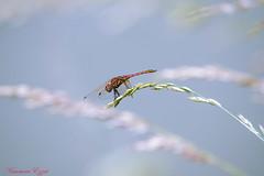 Sympetrum strié mâle   (3) (Ezzo33) Tags: france gironde nouvelleaquitaine bordeaux ezzo33 nammour ezzat sony rx10m3 parc jardin insecte insectes specanimal libellule dragonfly sympetrumstriémâle