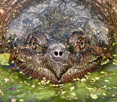 I'm Turtley In Love With This Face (Meryl Raddatz) Tags: turtle snappingturtle reptile nature naturephotography canada wildlife