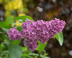 Lilac - DSC_0080 (John Hickey - fotosbyjohnh) Tags: 2019 carrickmines flowers may2019 lilac dublin ireland outdoor nature naturalbeauty purple nikon nikond750 flickr