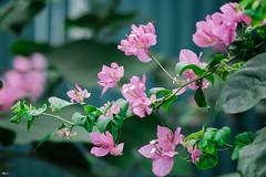 Hoa giấy (Bougainvillea) (luongsangit58) Tags: fujifilm fujifilmxt10 fuji minolta hoa flower