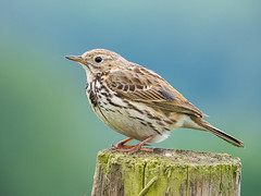 Meadow Pipit (Pendlelives) Tags: meadow pipit ridge lane wheatley roughlee barrowford pendle pendlelives nikon p1000 zoom cream brown legs wings beak blurred background nature wildlife bird birds lancashire english england