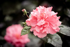 Hoa dâm bụt (Hibiscus) (luongsangit58) Tags: fujifilm fujifilmxt10 fuji minolta flower hoa