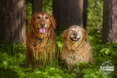 Picture of the Day (Keshet Kennels & Rescue) Tags: adoption dog ottawa ontario canada keshet large breed dogs animal animals pet pets field nature photography golden retriever retrievers pair couple friends goofs ferns forest laugh smile expression funny cute
