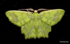 Geometer Moth, Cathydata batina (Ecuador Megadiverso) Tags: andreaskay cathydatabatina ecuador geometermoth geometridae moth wildsumaco