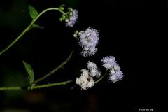beauté florale / floral beauty (Laval Roy off until 07/08/2019) Tags: mexique mexico ranchoprimavera eltuito jalisco lavalroy fleur flower