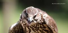 Falco reale (alberto borella) Tags: falco reale oasi santalessio rapaci uccelli