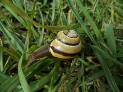 Supersonic Snail (Nekoglyph) Tags: southgare teesside redcar banded brownlipped snail cepaeanemoralis shell striped yellow brown grass green colourful white spiral horns black