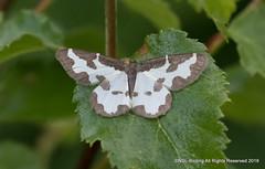 Clouded Border Moth (snapp3r) Tags: cloudedborder glasdrum lomaspilismarginata moth scotland