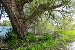 Spring Day (gabi-h) Tags: bigtree grass green roadside princeedwardcounty princeedwardpoint pointtraverse june gabih water lakeontario harbour muddy lakeshore branches highwater