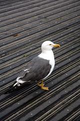 Seagull (scott_steelegreen) Tags: seagull gulls scavenger boardwalk stripes wood