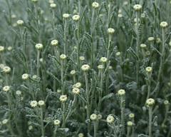 Cotton Lavender (Treflyn) Tags: cotton lavender santolina chamaecyparissus walled garden national trust hughenden manor high wycombe buckinghamshire