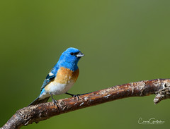 Just Visiting (craig goettsch) Tags: bunting lazulibunting bird avain nature wildlife animals blue green nikon d850