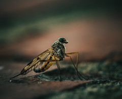 the small world (robert.lindholm87) Tags: canon eos eosr mirrorless irix irixlens dragonfly macro closeup insect insects animals animal bokeh blur background flickr colors nature brickwall brick lightroom sweden entomology