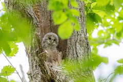 An owlet checking out its surroundings before taking a big first step (St(eve)n) Tags: animals animal nikkor200500mm nikond750 birdphotography wildlifephotography wildlife birds bird owlet owl birdofprey