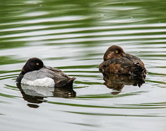Scaup Pair on a chilly day (edmason88) Tags: chilly happytogether tamron150600 scauppair canada alberta strathconacounty