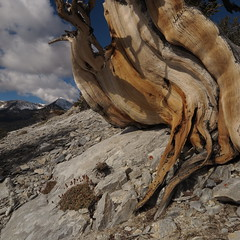 Antipode (Bregalis) Tags: ancient bristlecone landscape longaeva great basin national park pine pinus range snake divide trail tree trees usa wild wilderness nature natural weathered wood wind ice snow elevation mt washington oldest living white mountains california currey schulman prometheus methuselah wheeler peak nevada anthropocene bonsai penjing greatbasinnationalpark
