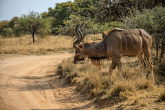 Kudu about to cross the road (Johann (Still Me!)) Tags: koedoe kudu dikhololo johanndejager ef70300mmf456isusm canoneos5dmarkiv