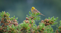 Yellowhammer at Buxton heath (David Brooker) Tags: emberiza citrinella yellowhammer bird gorse bush
