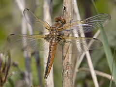 Scarce Chaser (JaneTurner68) Tags: scarcechaser chaser dragonfly stokeferry norfolk canonsx70 canon