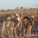 Young camels in a brush corral