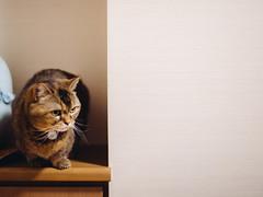 2019.6.7 (Nazra Z.) Tags: munchkincat munchkin cat pet animal indoors home okayama japan 2019 raw vscofilm