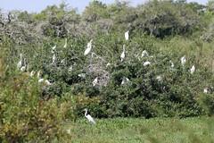 Great Egret (ardea alba) bush at back of marsh (Paul Cottis) Tags: rincondelsocorro iberawetlands esterosdelibera estancia bird argentina paulcottis 7 february 2019 feb egret heron waterbird