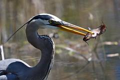Great Blue Heron (kevinwg) Tags: great blue heron greatblueheron bird water pond lake fish catfish