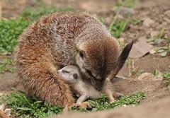 meerkat Burgerszoo 094A0530 (j.a.kok) Tags: animal africa afrika mammal meerkat motherandchild moederenkind stokstaartje zoogdier dier burgerszoo burgerzoo baby babymeerkat babystokstaartje