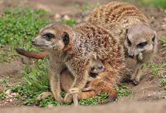 meerkat Burgerszoo 094A0611 (j.a.kok) Tags: animal africa afrika mammal meerkat motherandchild moederenkind stokstaartje zoogdier dier burgerszoo burgerzoo baby babymeerkat babystokstaartje
