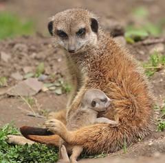 meerkat Burgerszoo 094A0657 (j.a.kok) Tags: animal africa afrika mammal meerkat motherandchild moederenkind stokstaartje zoogdier dier burgerszoo burgerzoo baby babymeerkat babystokstaartje