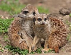 meerkat Burgerszoo 094A0553 (j.a.kok) Tags: animal africa afrika mammal meerkat motherandchild moederenkind stokstaartje zoogdier dier burgerszoo burgerzoo baby babymeerkat babystokstaartje
