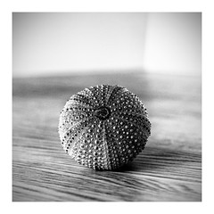 A gift of the ocean.... (fnoothout) Tags: stilllifephotoart tabletop blackwhite blackandwhite monochrome composition square