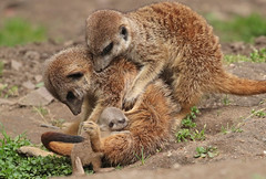 meerkat Burgerszoo 094A0665 (j.a.kok) Tags: animal africa afrika mammal meerkat motherandchild moederenkind stokstaartje zoogdier dier burgerszoo burgerzoo baby babymeerkat babystokstaartje