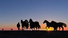 Freedom on the tidal marsh (powerfocusfotografie) Tags: horse horses backlight silhouette dusk action running sun sunset evening outdoors landscape groningen holland henk nikond90 powerfocusfotografie